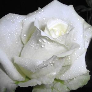 +Как понять, что означает белая роза на языке цветов