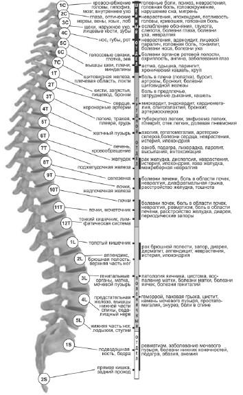 Строение позвоночника человека | Строение и функции