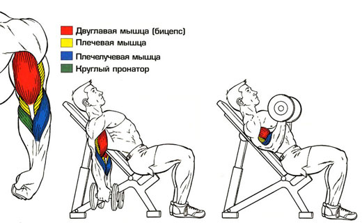 упражнения для бицепсов с отягощениями