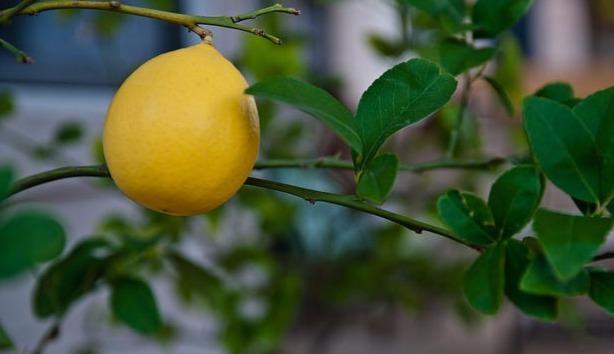 Чем может быт полезен лимон
