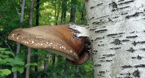 Свойства гриба Чаги