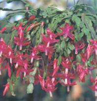 Домашнее растение Зигокактус