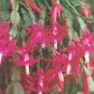 Растение Зигокактус