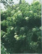 Домашнее растение Гортензия черешковая вьющаяся