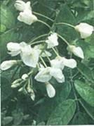 Домашнее растение Вистерия