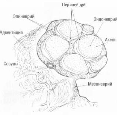 Строение периферического нерва.  Иначе обстоит дело с восстановлением двигательных волокон, т. к. чем больше времени...