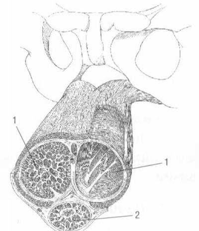 Схема строения пещеристых тел (1) и.