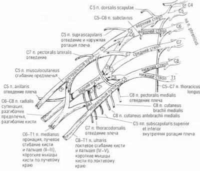 Анатомия плеченого сплетения