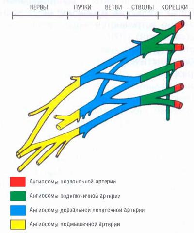 Схема ангиосомов плечевого