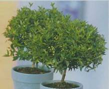 Растение мирт уход в домашних условиях