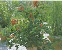 Домашнее растение Эритрина
