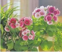 Домашнее растение Примула Обратноконическая