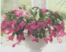 Домашнее растение Шлюмбергер зигокактус