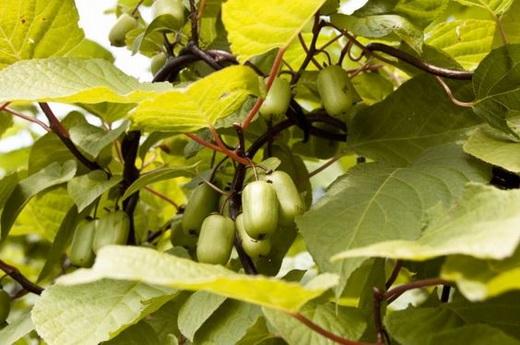 Свойства плодов актинидии