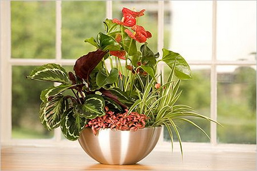 Anthurium уход в домашних условиях