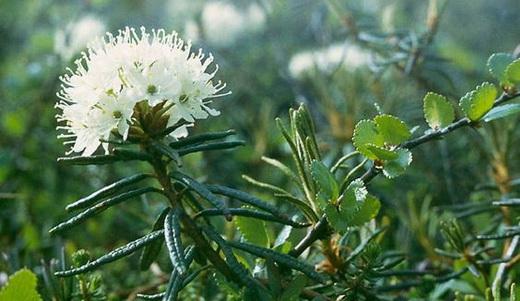 Растение багульник болотный