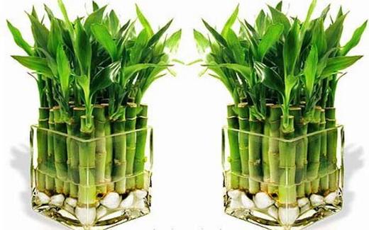 Растение бамбук