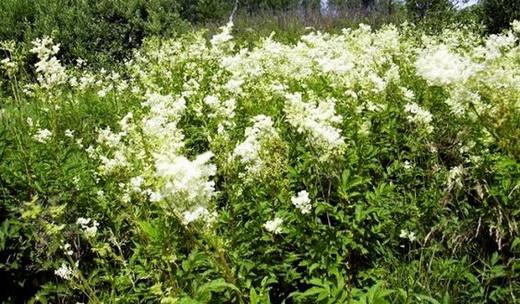 Растение белоголовник