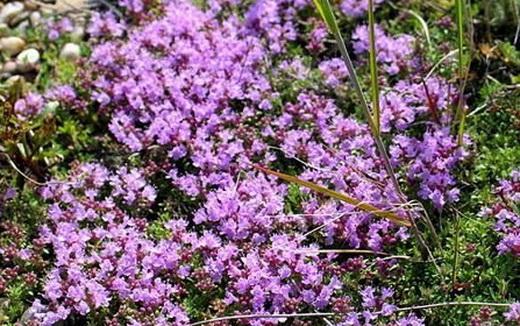 Растение богородская трава