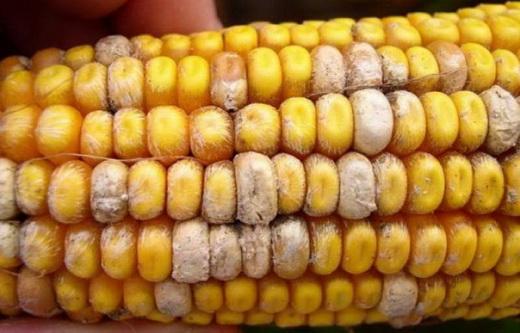 Плесневение семян кукурузы