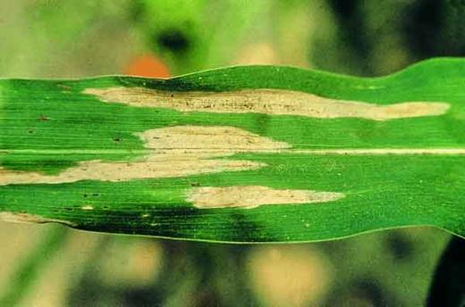 Гельминтоспориоз на кукурузе