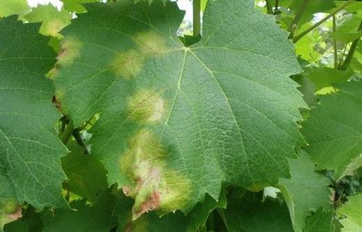 Ложномучнистая роса на винограде