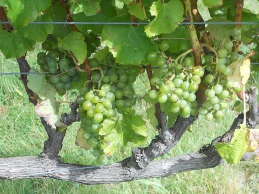 Разновидности болезней винограда