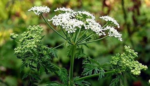 Свойства цветков белоголова