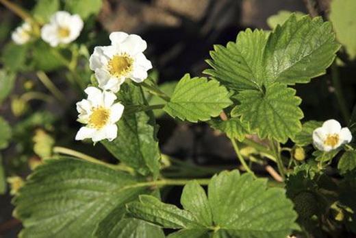 Болезни цветков клубники