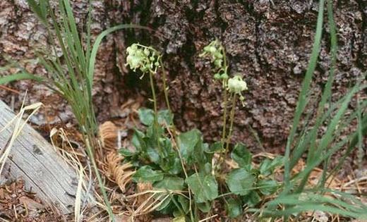 Растение боровая матка