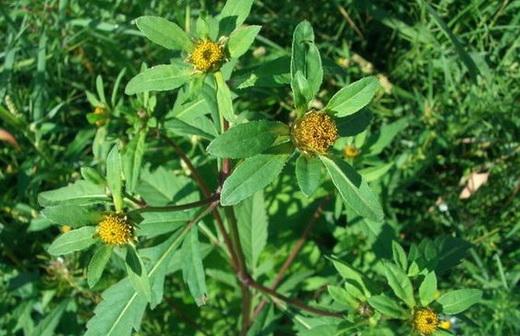 Растение череда