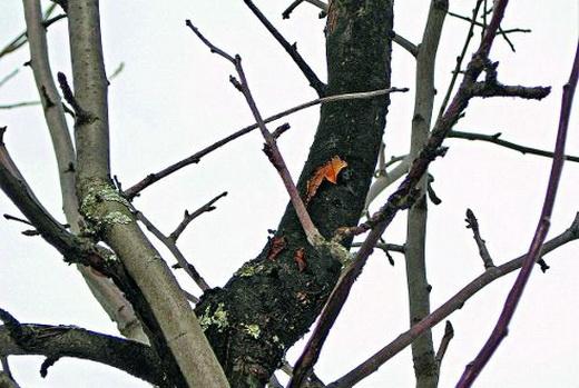 Черный рак на яблоне