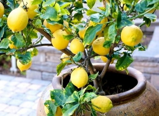 Выращивание цитрусового дерева