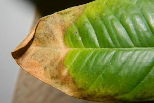 Болезни цитрусового дерева