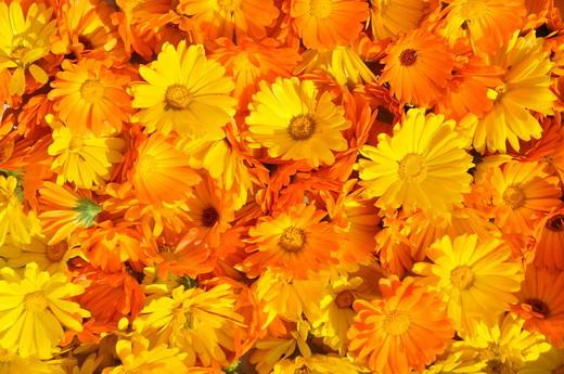 Собранные цветки календулы