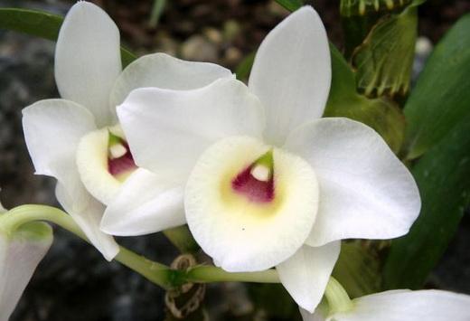 Растение Дендробиум