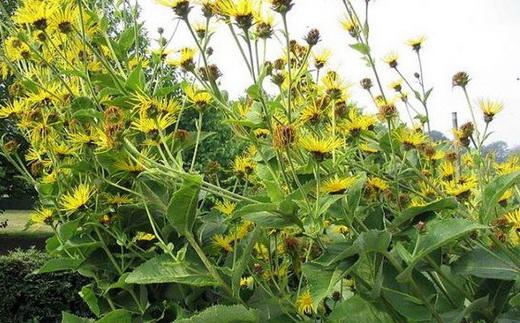 Растение Девясил