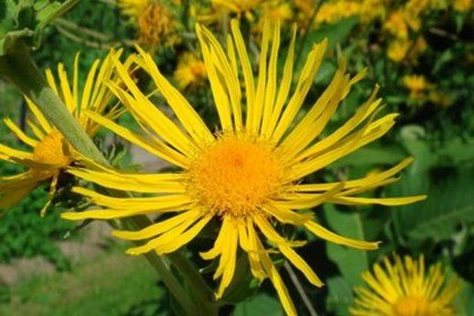 Свойства цветков Девясила