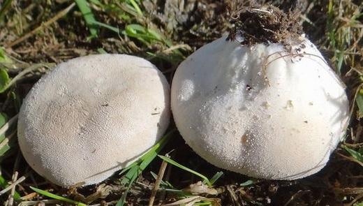 Лечебные свойства дождевика обыкновенного