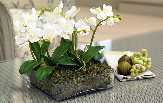 Выращивание фаленопсиса в домашних условиях
