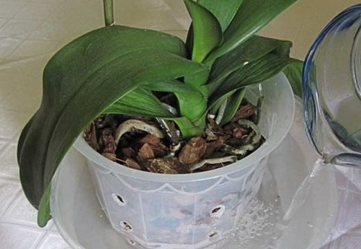 Растение фаленопсис