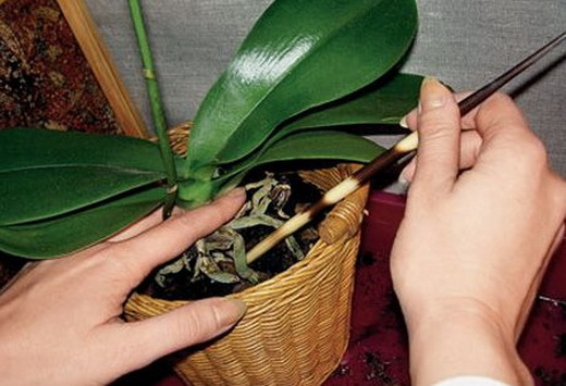 Пересадка фаленопсиса