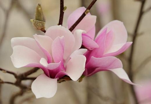 Растение гардения