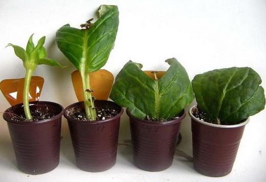 Размножение Глоксинии листьями