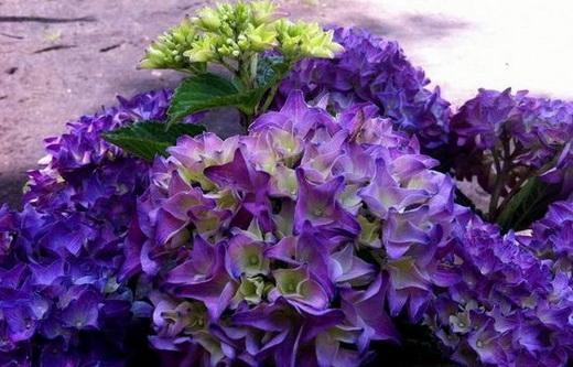 Растение гортензия