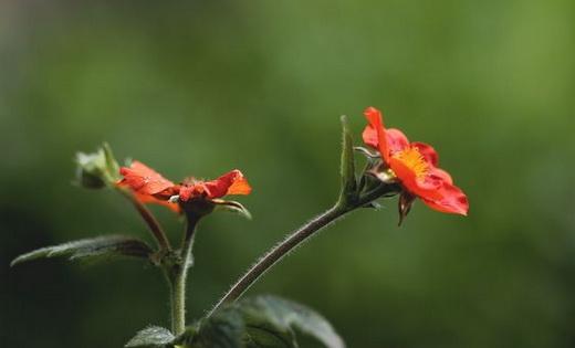 Растение гравилат