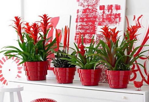 Выращивание Гузмании в домашних условиях