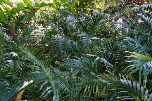 Хамедорея cataractarum