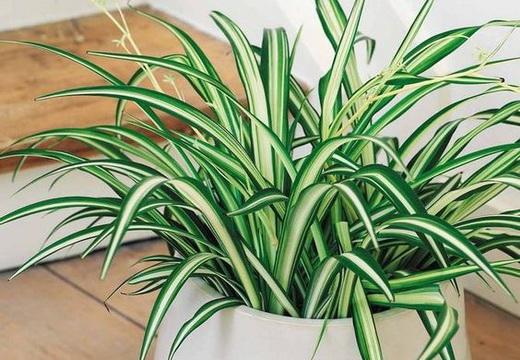 Выращивание хлорофитума