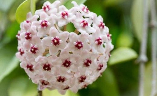Хоя цветок как ухаживать